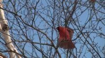 Northern Cardinal Singing In Birch Tree, Stretches Wings