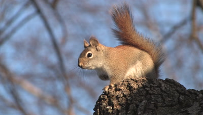 Red Squirrel On Knot On Tree, Drums Feet