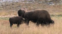 American Bison Cow, Calf Nursing From Behind