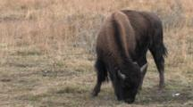 American Bison Cow Feeding