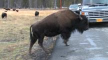 American Bison Crosses Road In Front Of Cars