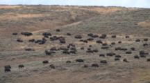 American Bison Herd Grazing On Prairie
