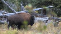 American Bison Walking Past Deadfall, Forest Setting