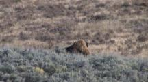 American Bison With Back To Camera, Sleeping