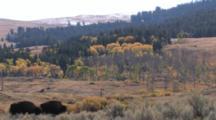 American Bison Bulls Walking, Specimen Ridge In Bground