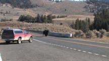 American Bison Bull Walking Across Bridge Over Yellowstone River