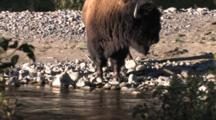American Bison Bull Standing By Buffalo River Turns, Looks At Camera