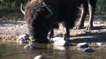 American Bison Bull Drinking Out Of Buffalo River