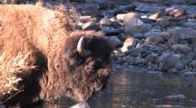 American Bison Bull Standing, Contemplating Crossing River