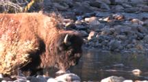 Bison Bull, Standing By River Bank, Enters