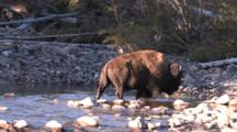 American Bison Bull Gingerly Crosses Rock Strewn Buffalo River