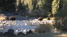 American Bison Bulls Standing, Walking, By Buffalo River