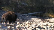 American Bison Bull Crosses Rocky Buffalo River To Join Others