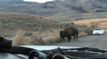 American Bison Bull Walking On Road In Front Of Car