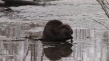 American Beaver Cleans Off Pond Weed Root, Eats