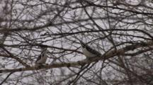 Hairy Woodpeckers Interacting, Displaying, On Birch Tree Branch