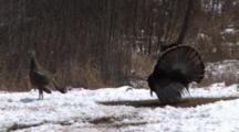 Wild Turkeys Displaying, Toms Gobble, Sidestep For Hens, Dance