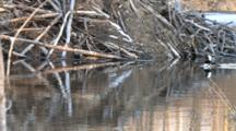 Hooded Merganser Drakes Sounding, Chasing, Swimming Past Beaver Lodge