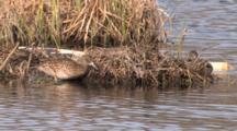 Blue Winged Teal Pair Feeding In Pond