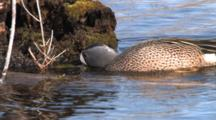Blue Winged Teal Drake Feeding In Pond, Swims Away From Camera