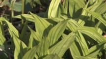 Emerging Green Leaves Of Yellow Lady's Slipper Orchid