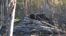 Beaver, Working On Top Of Lodge, Turns, Walks Down Lodge To Water