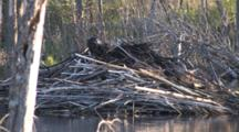 Beaver, Working On Lodge, Carries Armload Of Sticks To Top