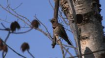 Male Northern Flicker Sitting By Nest Hole In Birch Tree, Calls For Mate