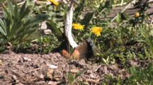 Killdeer Parent Fluttering, Acting, Drawing Predators Away From Nest, Chicks