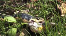 Eastern Garter Snake Works Throat And Jaws, Trying To Pull In And Swallow Grey Tree Frog