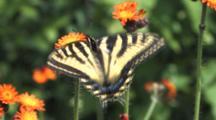 Orange Hawkweed Field, Zoom To Eastern Tiger Swallowtail Butterfly Feeding