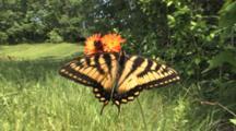 Eastern Tiger Swallowtail Butterfly On Single Orange Hawkweed