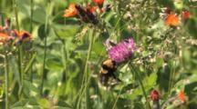 Bumblebee Feeding On Clover, Grasses, Orange Hawkweed In Bground