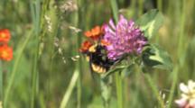 Bumblebee Feeding On Clover, Grass Seeds, Orange Hawkweed In Bground