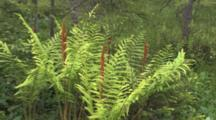 Northern Boreal Bog Habitat, Ferns With Spore Fronds