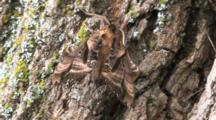 Blinded Sphinx Moth On Tree Bark