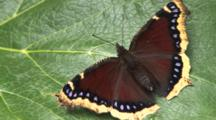 Mourning Cloak Butterfly, Defecating, Moving Head, Legs, Exits