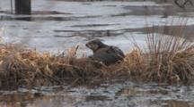 Northern River Otter Preparing For Nap On Icy Island