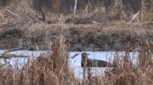 Northern River Otter On Ice, Scratching, Rolling