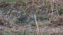 Wilson's Snipe Finds And Eats Earthworm