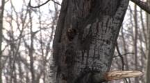 Male Northern Flicker, Panting, Showing Tongue, Bores Nest Hole In Popple Tree