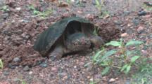 Snapping Turtle Digging Nest Hole For Eggs