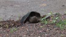 Snapping Turtle In Nest Hole