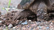 Snapping Turtle Hind Feet Bringing Gravel To Cover Eggs