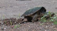 Snapping Turtle Finishing Covering Eggs