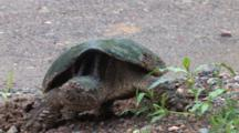 Snapping Turtle Finishes Covering Eggs, Turns To Leave