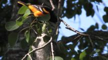 Baltimore Oriole, Tending Nest And Chicks, Feeds Large Green Worm