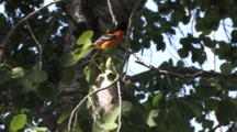 Baltimore Oriole Sitting On Branch Above Nest, Sings, Exits