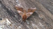 Walnut Sphinx Moth, Top View, From Front