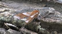 Walnut Sphinx Moth, Side View